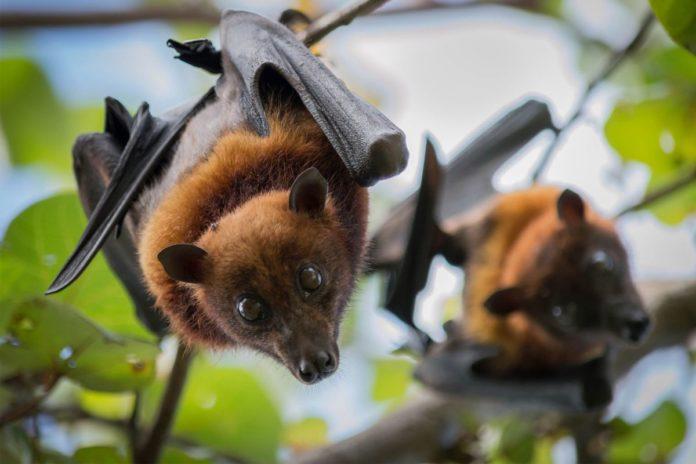 bats-coronavirus-india